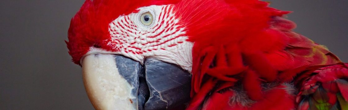 red-blue-and-green-parrot-2954458